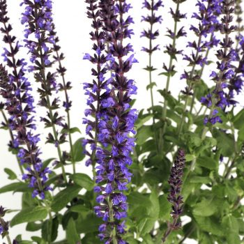 Salvia Merleau Compact Blue by Syngeta Flowers - Year of the Salvia - National Garden Bureau