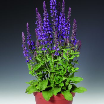 Salvia Merleau Blue by Syngeta Flowers - Year of the Salvia - National Garden Bureau