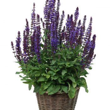 Salvia New Dimension Blue by Garden Trends - Year of the Salvia - National Garden Bureau