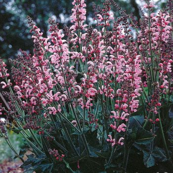 Salvia Ballet Rose Rhapsody from Jelitto Perennial Seeds - Year of the Salvia - National Garden Bureau
