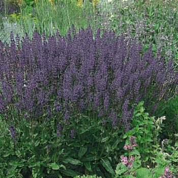 Salvia Queen Dwarf Blue by Benary - Year of the Salvia - National Garden Bureau