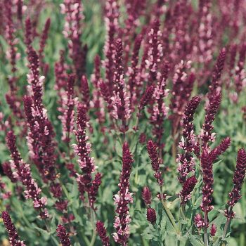 Salvia Queen Rose by Benary - Year of the Salvia - National Garden Bureau