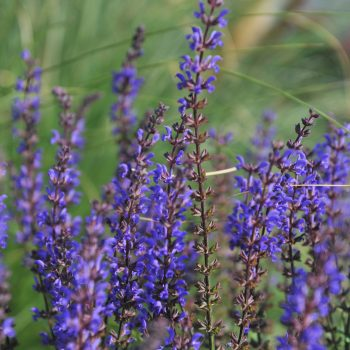 Salvia Salute Deep Blue 2 by Dummen Orange - Year of the Salvia - National Garden Bureau