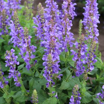 Salvia Sky Blue Marvel from Darwin Perennials - Year of the Salvia - National Garden Bureau