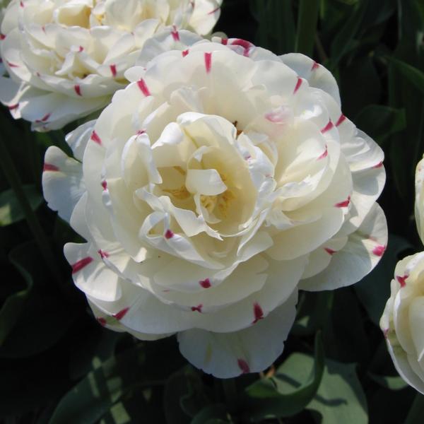 Tulip Danceline - DutchGrown - National Garden Bureau
