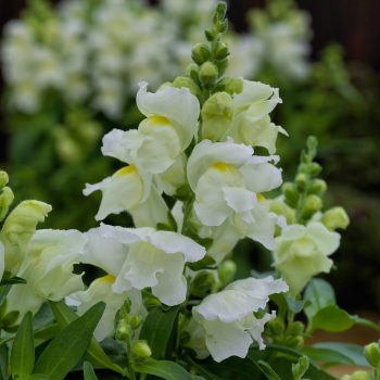Snapdragon Candy Top White by Sakata - Year of the Snapdragon - National Garden Bureau