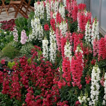 Snapdragons by Sakata - Year of the Snapdragon - National Garden Bureau