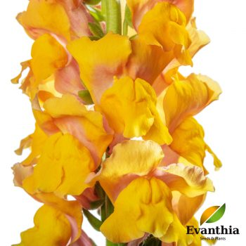 Snapdragon Animation Cognac by Evanthia - Year of the Snapdragon - National Garden Bureau