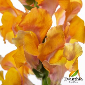 Snapdragon Animation Orange by Evanthia - Year of the Snapdragon - National Garden Bureau