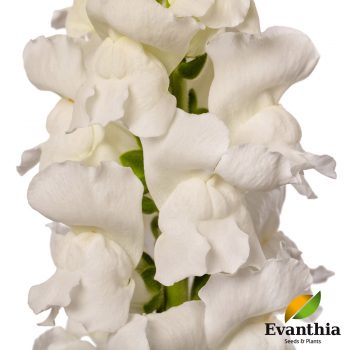 Snapdragon Animation White by Evanthia - Year of the Snapdragon - National Garden Bureau