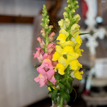 Snapdragon Lifestyle by Evanthia - Year of the Snapdragon - National Garden Bureau
