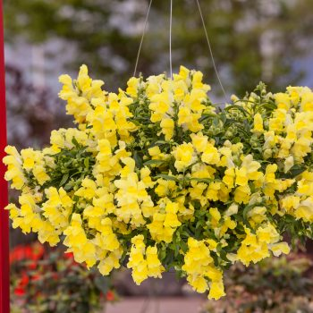 Snapdragon Candy Showers Yellow by Sakata - Year of the Snapdragon - National Garden Bureau