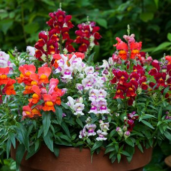 Snapdragon Crack and Pop Bicolor by Flora Nova - Year of the Snapdragon - National Garden Bureau