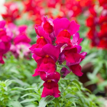 Snapdragon Crack and Pop Purple by Flora Nova - Year of the Snapdragon - National Garden Bureau