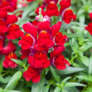 Snapdragon Crack and Pop Red by Flora Nova - Year of the Snapdragon - National Garden Bureau