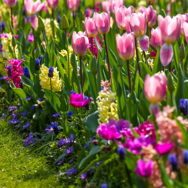 Triumph tulips with hyacinths, muscari and anemone - Longfield Gardens - National Garden Bureau