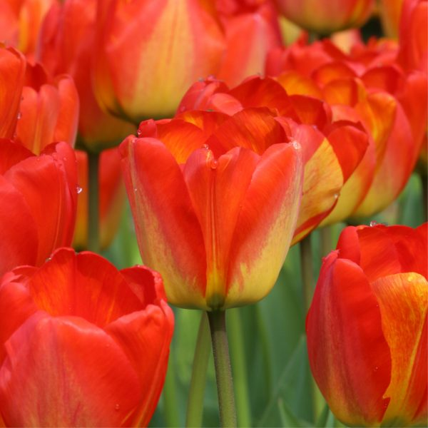 Tulip Orange Queen from Longfield Gardens - Year of the Tulip - National Garden Bureau
