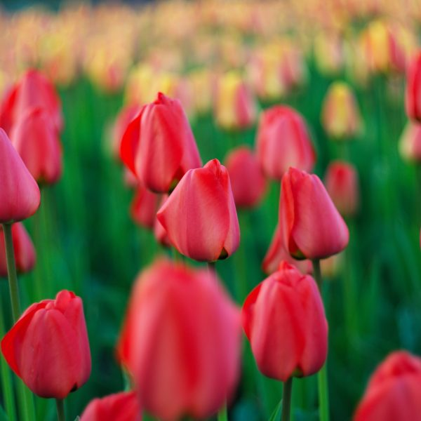 Tulip Jumbo Cherry from DutchGrown - Year of the Tulip - National Garden Bureau