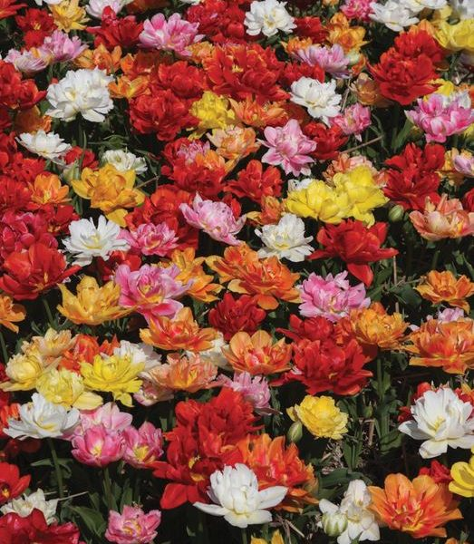 Tulip Murillo Mix from Brent and Becky's Bulbs - Year of the Tulip - National Garden Bureau