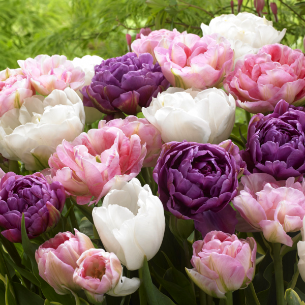 Tulip Wedding Gift Collection from DutchGrown - Year of the Tulip - National Garden Bureau