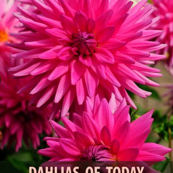 Dahlias for Today 2019 - National Garden Bureau