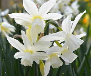 Mini Daffodil 'Thalia' from DutchGrown - Year of the Daffodil - National Garden Bureau