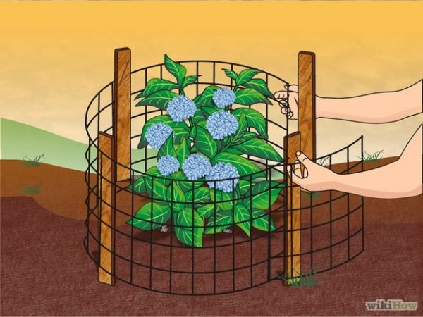 Ways to protect your hydrangeas this winter - National Garden Bureau
