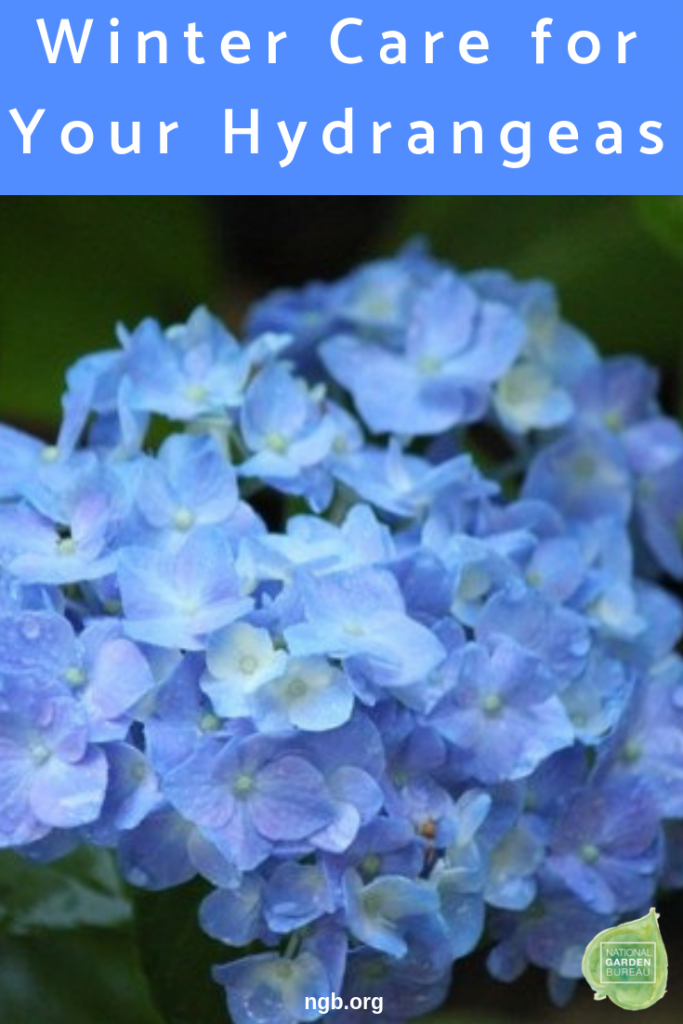 Winter Care for Your Hydrangeas - National Garden Bureau - Easy Steps to prepare your Hydrangeas for winter and blooming next year! #nationalgardenbureau #hydrangea