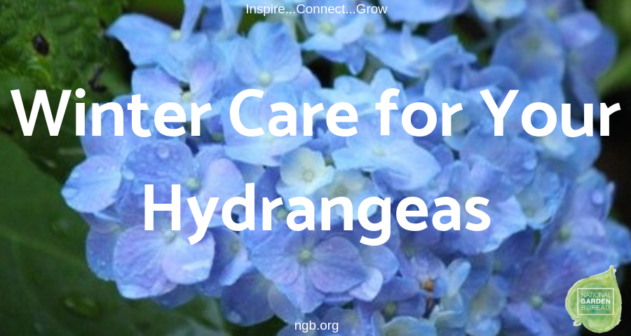 Winter Care for your Hydrangeas - National Garden Bureau - #Hydrangeas