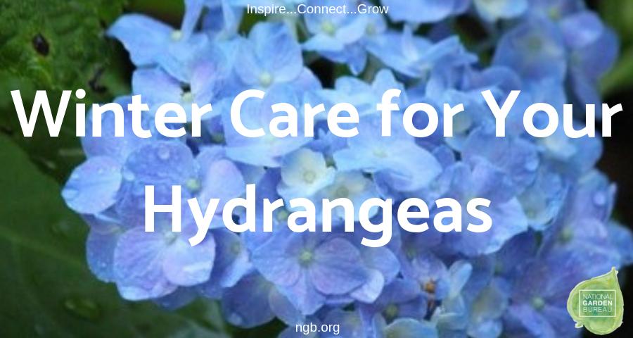 Winter Care for your Hydrangeas - National Garden Bureau - #Hydrangeas