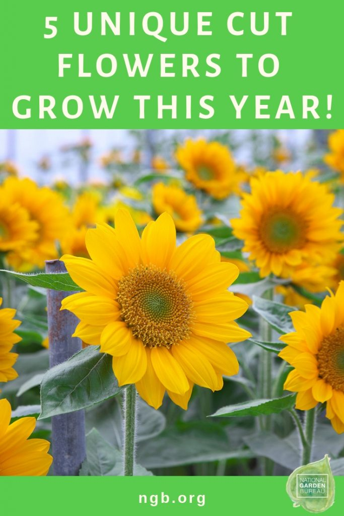 5 Unique Cut Flowers to Grow This Year in Your Garden - National Garden Bureau