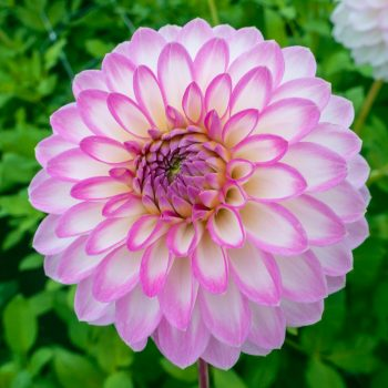 Dahlia Arbatax from Breck's - Year of the Dahlia - National Garden Bureau
