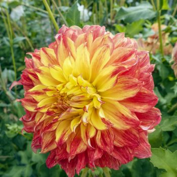 Dahlia El Sol from Breck's - Year of the Dahlia - National Garden Bureau
