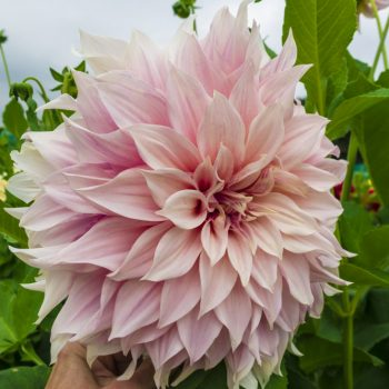 Dahlia Dinner Plate Café au Lait from Breck's - Year of the Dahlia - National Garden Bureau