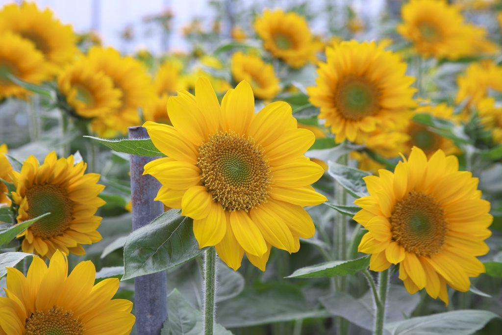 American Takii Sunrich Gold Sunflower - Grow Your Own Cut Flower Garden - National Garden Bureau