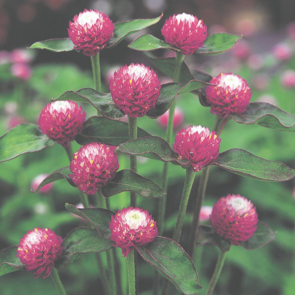 Gomphrena – Audray Bicolor rose - Grow Your Own Cut Flower Garden - National Garden Bureau