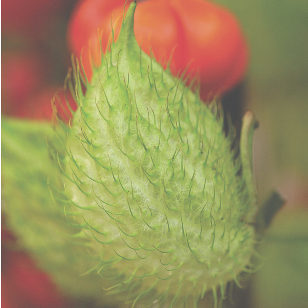 Gomphocarpus – Hairy Balls - Grow Your Own Cut Flower Garden - National Garden Bureau