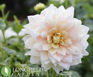 Longfield Gardens Dahlias