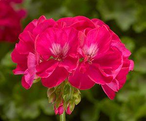 Syngenta Flowers Calliope Geranium