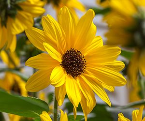 Sunfinity Sunflower - Syngenta Flowers