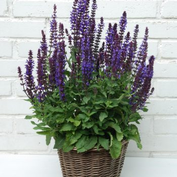 Salvia New Dimension Blue by Pan Am Kieft Seed - Year of the Salvia - National Garden Bureau