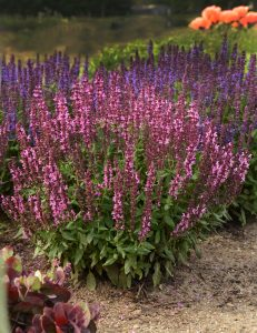Salvia New Dimension Rose by Pan Am Kieft Seed - Year of the Salvia - National Garden Bureau
