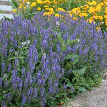 Salvia nemarosa Blue Hill from Brecks - Year of the Salvia - National Garden Bureau