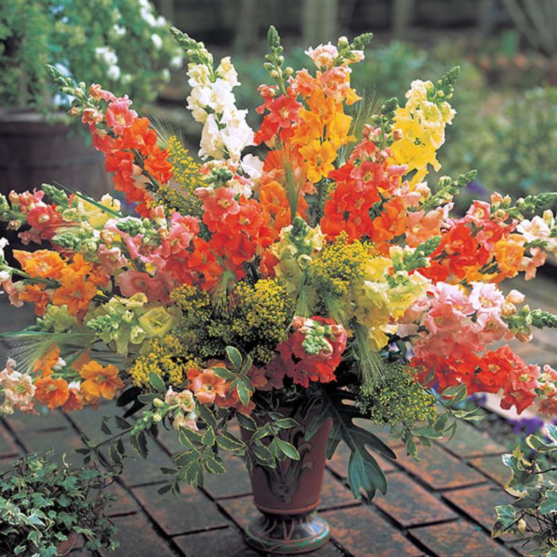 Snapdragon – Chantilly series - Grow Your Own Garden - National Garden Bureau