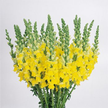 Snapdragon Cool Yellow by PanAmerican Seed - Year of the Snapdragon - National Garden Bureau