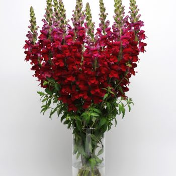 Snapdragon Maryland Red from PanAmerican Seed - Year of the Snapdragon - National Garden Bureau