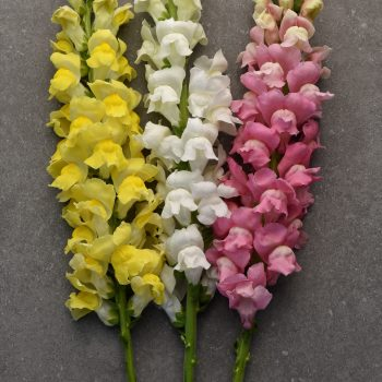 Snapdragon Maryland White, True Pink, Bright Yellow from PanAmerican Seed - Year of the Snapdragon - National Garden Bureau