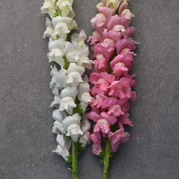 Snapdragon Maryland White and True Pink from PanAmerican Seed - Year of the Snapdragon - National Garden Bureau