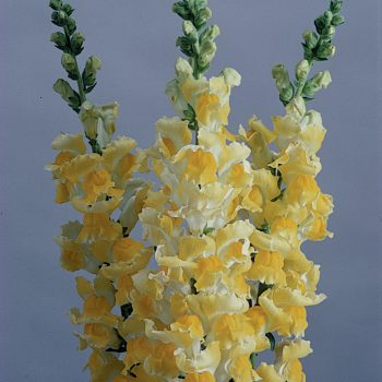 Snapdragon Potomac Yellow from PanAmerican Seed - Year of the Snapdragon - National Garden Bureau