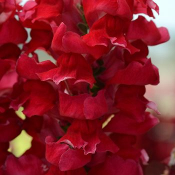 Snapdragon Rocket Cherry from PanAmerican Seed - Year of the Snapdragon - National Garden Bureau